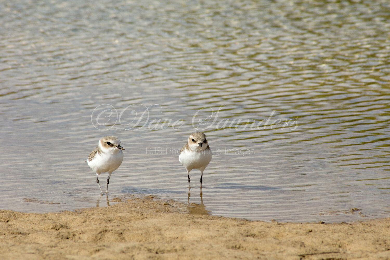 Kentish Plover pair