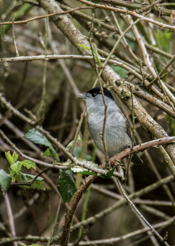 Blackcap (Male)