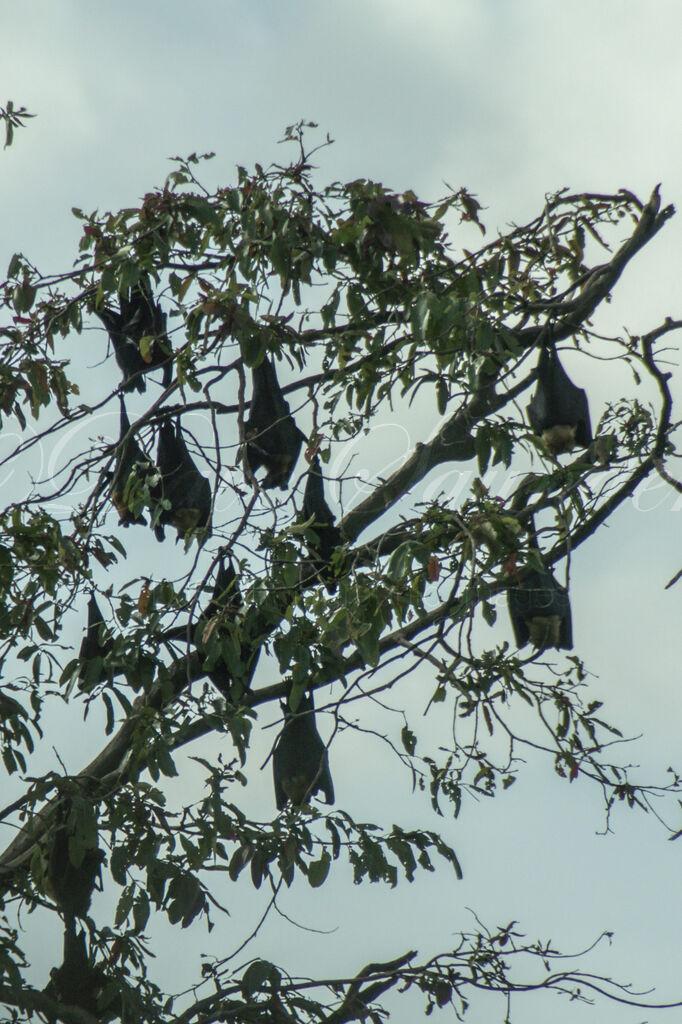 Indian Flying Fox (Fruit Bats)