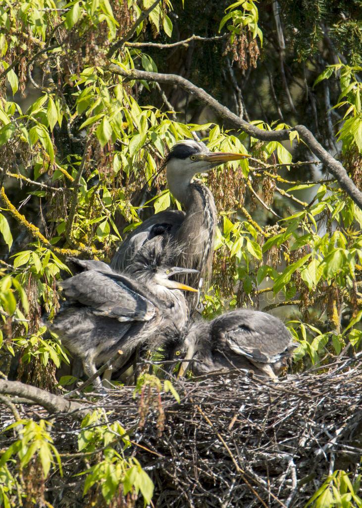 Grey Heron Juveniles