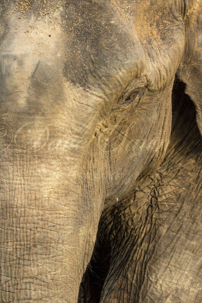 Asian Elephant up close