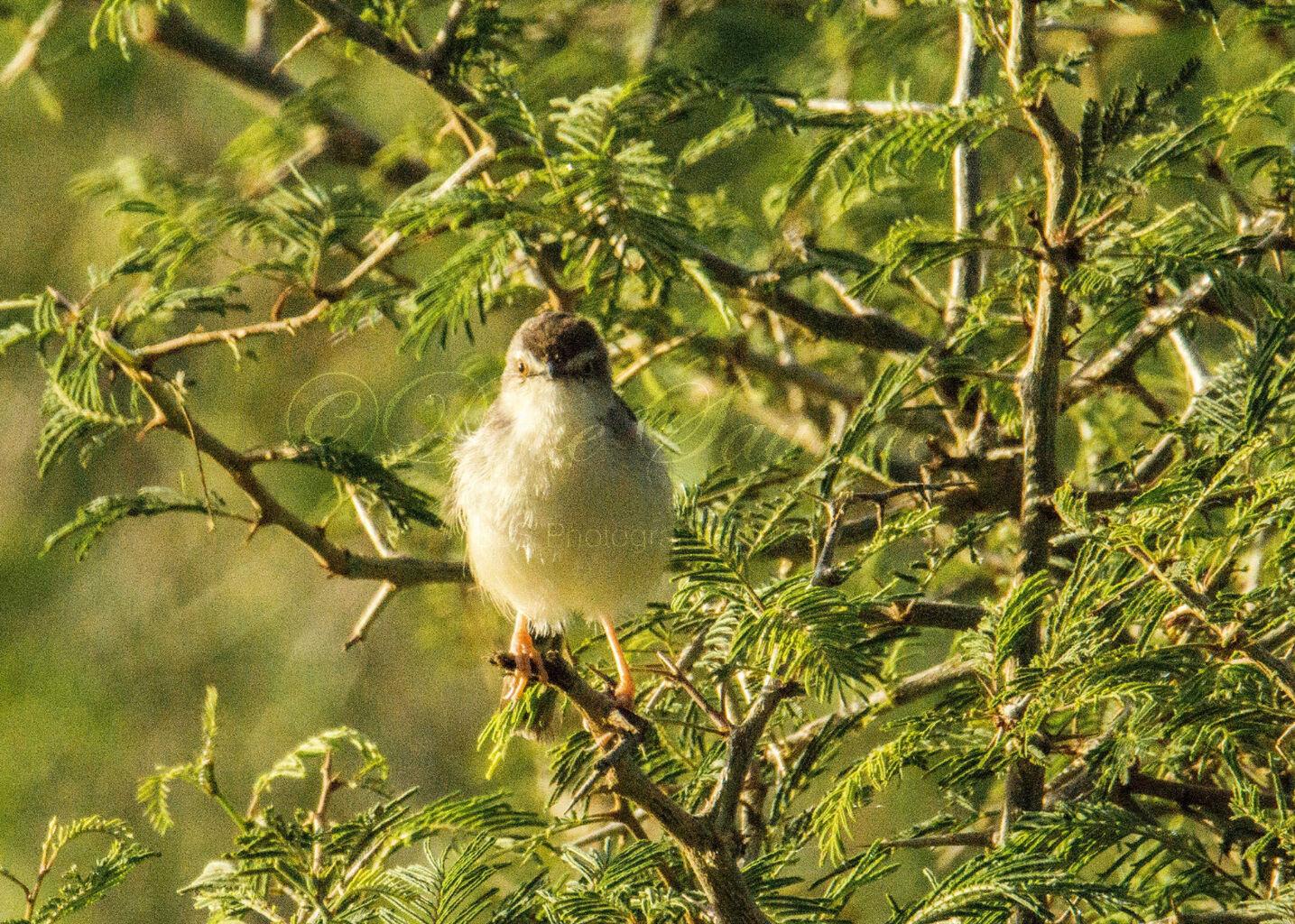 Blyth's Reed Warbler 1