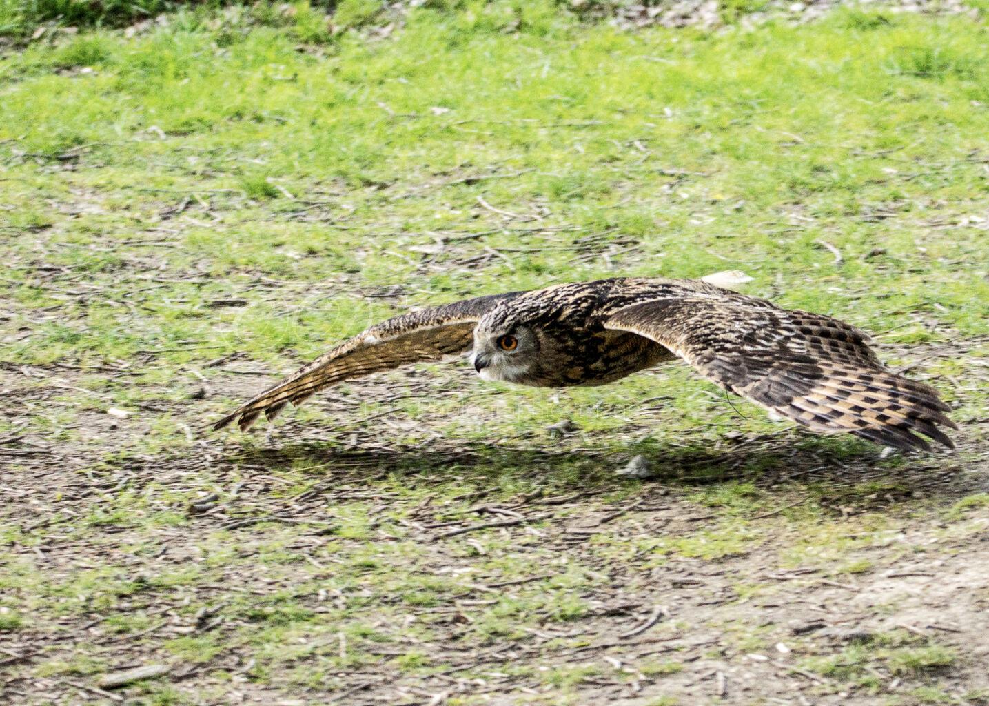 Flying low! (European Eagle Owl)