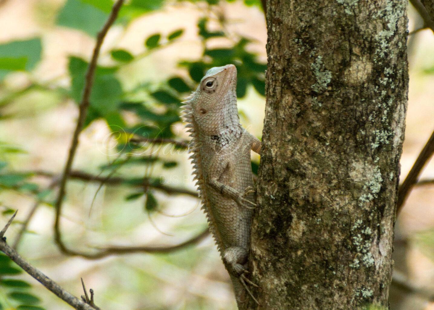 Indian chameleon (Chamaeleo zeylanicus)