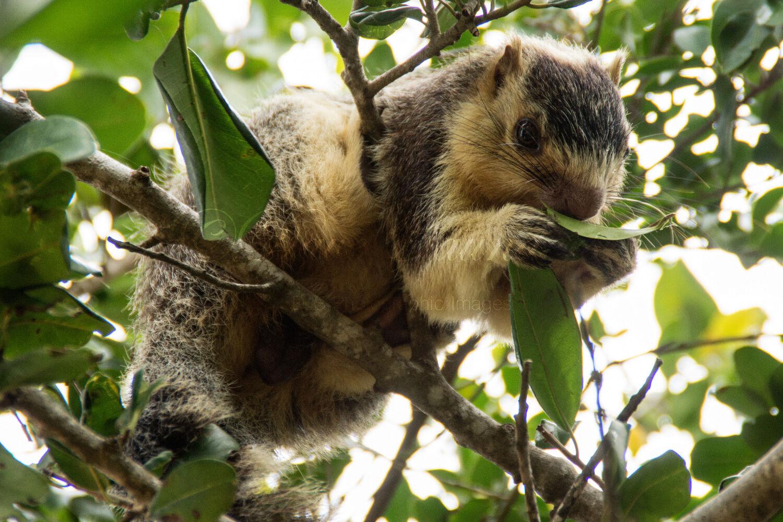 Giant Squirrel (Ratufa macroura)