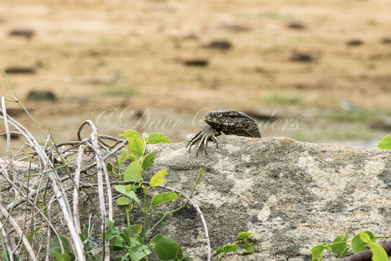 Land Monitor Lizard (Varanus bengalensis)