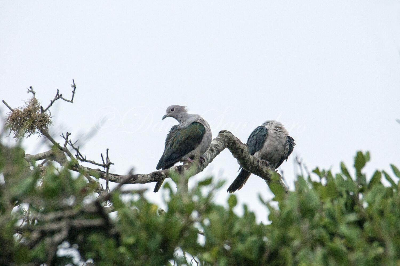 Green Imperial Pigeon pair