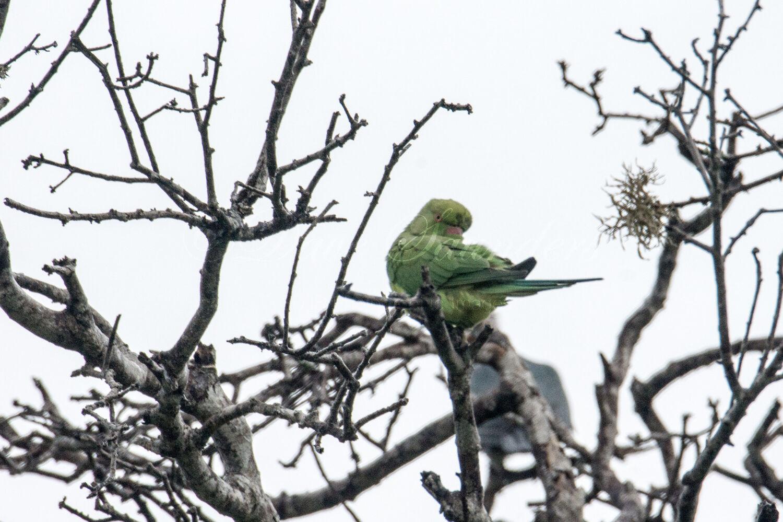 Layard's Parrot