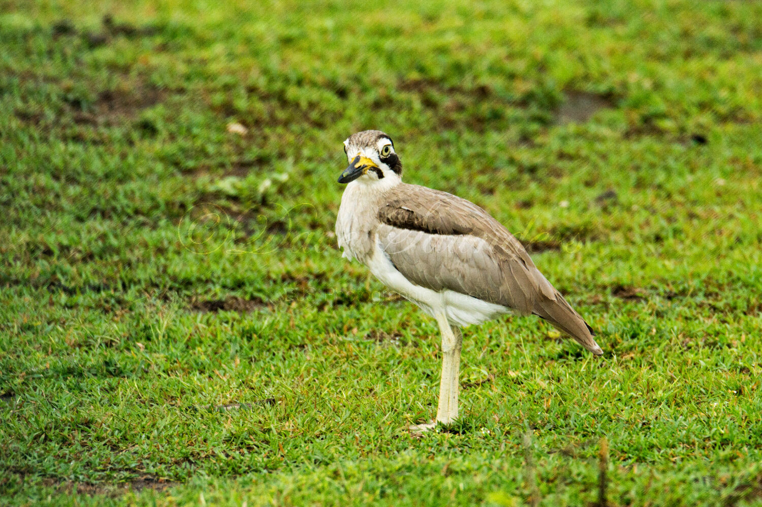 Great Stone Curlew (Great Thick Knee)