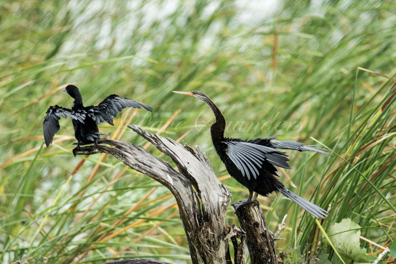 Indian Darter & Little Cormorant