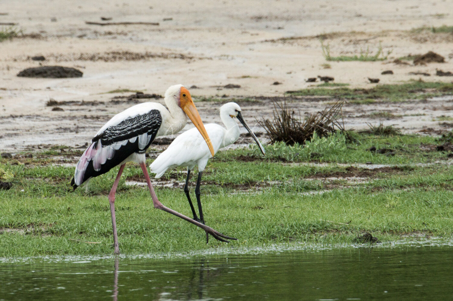 Painted Stork and Spoonbill