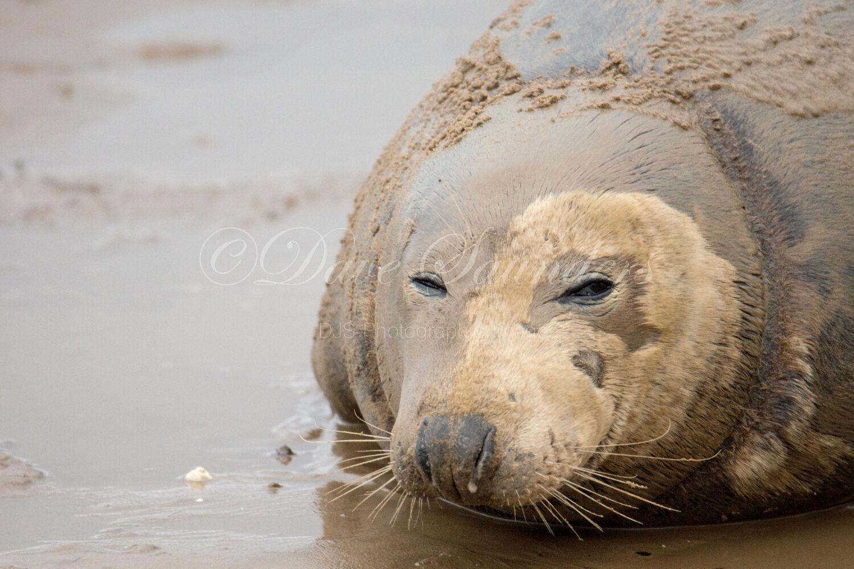 Grey Seal Cow