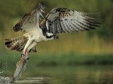 Osprey Images