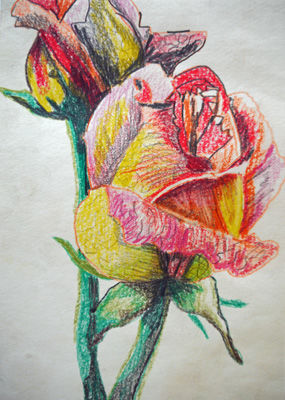 Multi-Coloured Rose, 6in x 8in, coloured pencils