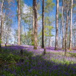 1198-Bluebells Knockbarron Wood Offaly Ireland