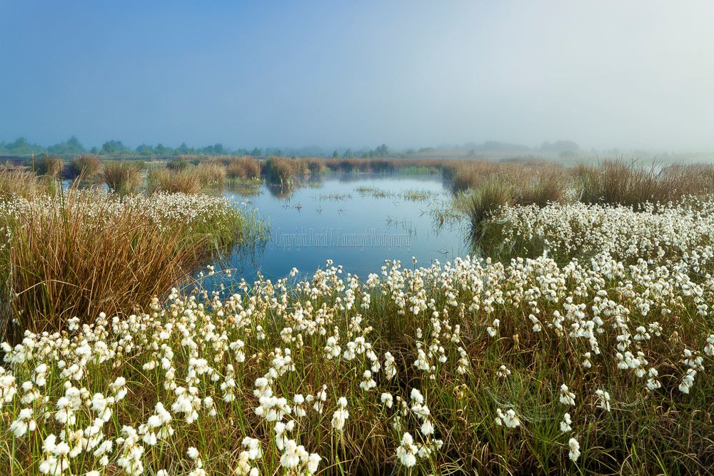 1216-Bog Cotton Turraun Wetlands Offaly Ireland