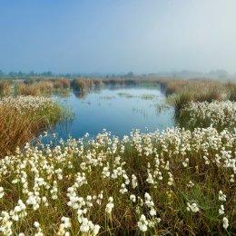 1216-Bog Cotton Turraun Wetlands Offaly Ireland