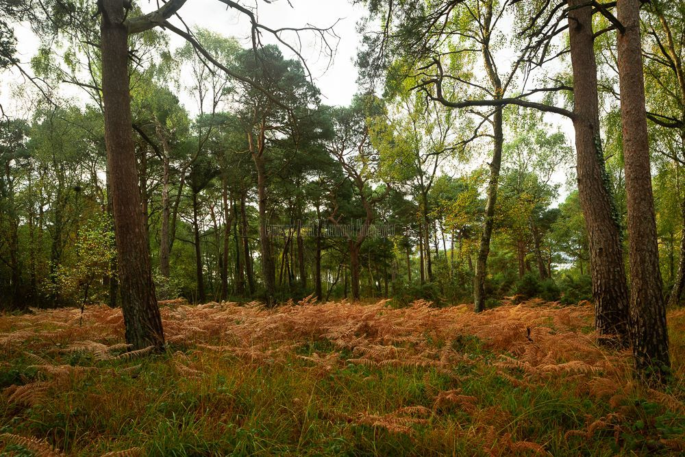 1280-Pines and Autumn Ferns