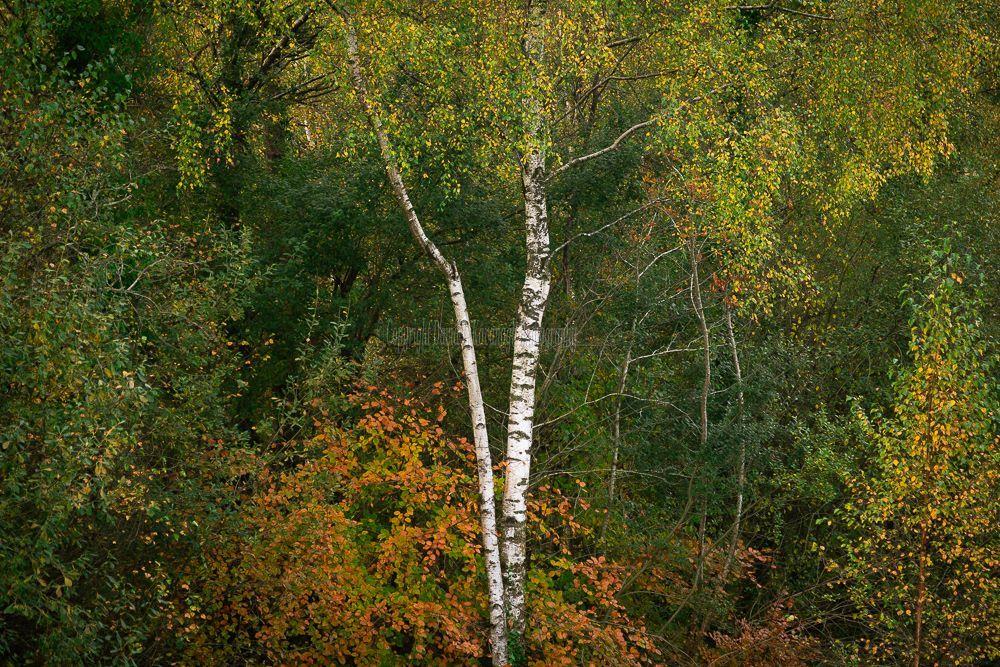 1283-Silver Birch