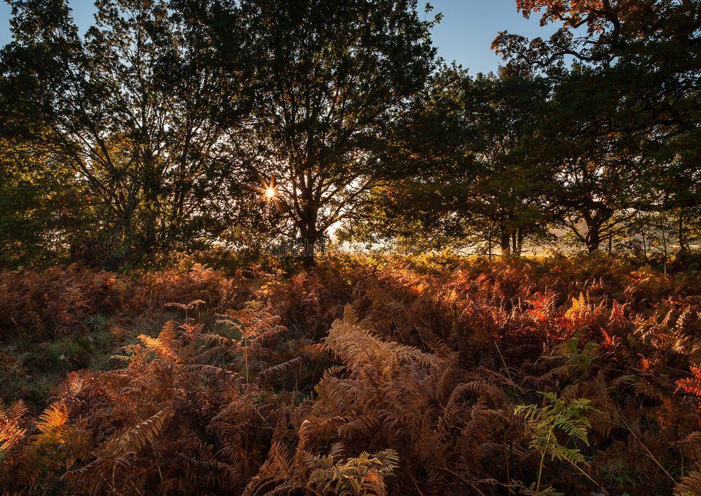 1290-Rising Sun and Ferns