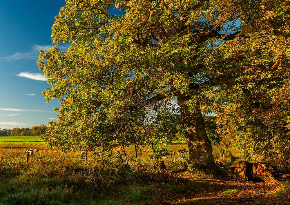 1293-Sunny Autumn Chestnut Tree