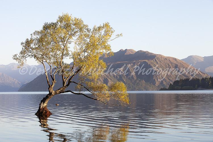 Willow Tree at First Light, Lake Wanaka