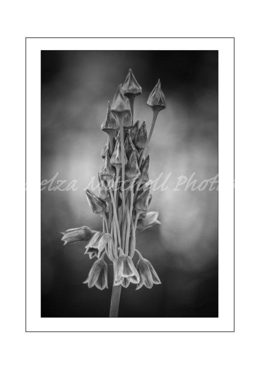 Allium nectaroscordum bulgaricum