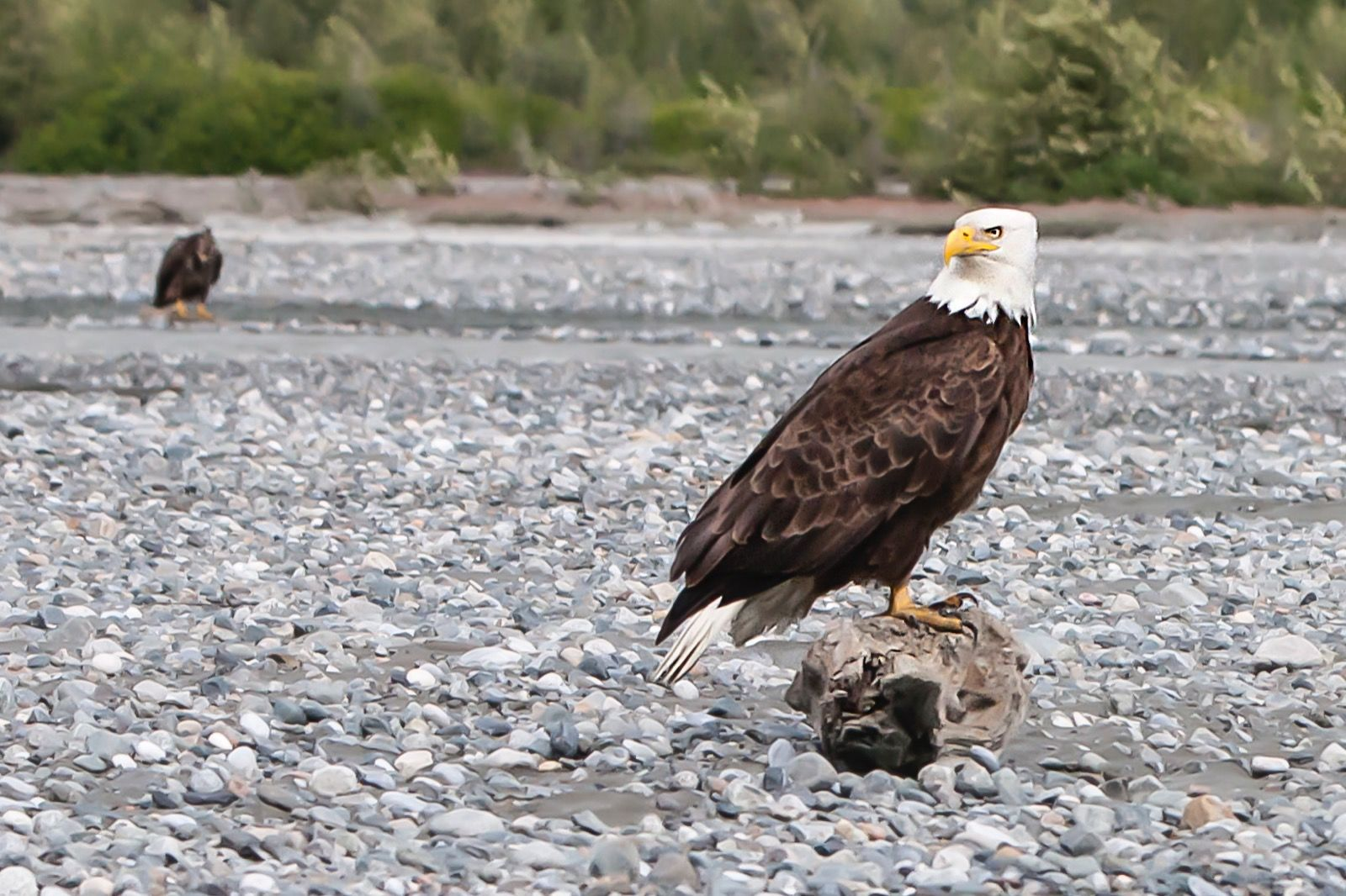 Golden Eagle - Alaska