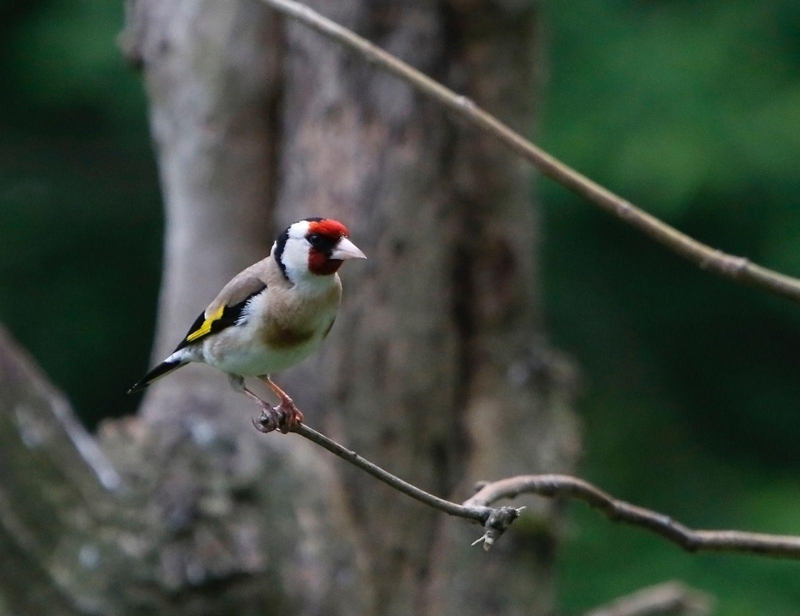 Goldfinch Rutland Water