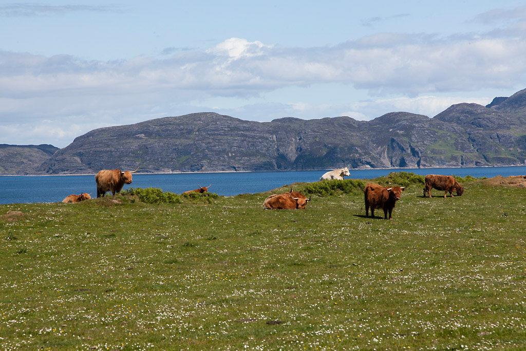 Highland Catle Glengorm