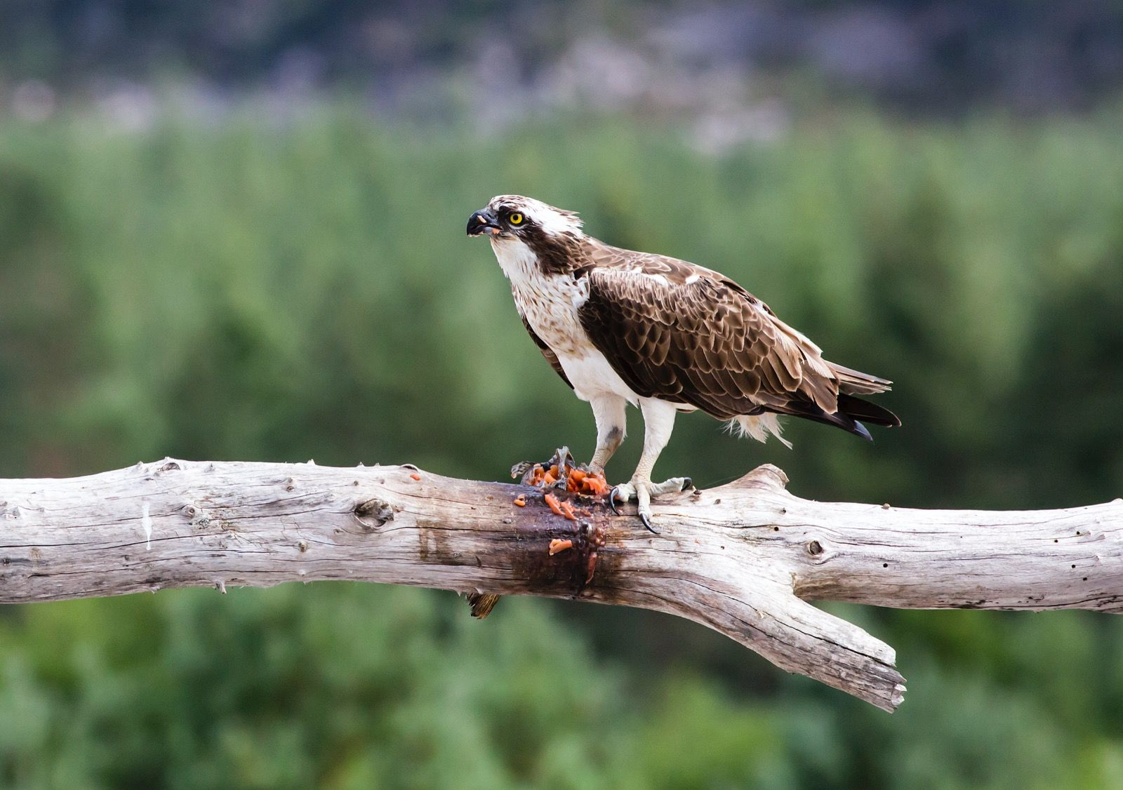 Osprey eating Salmon
