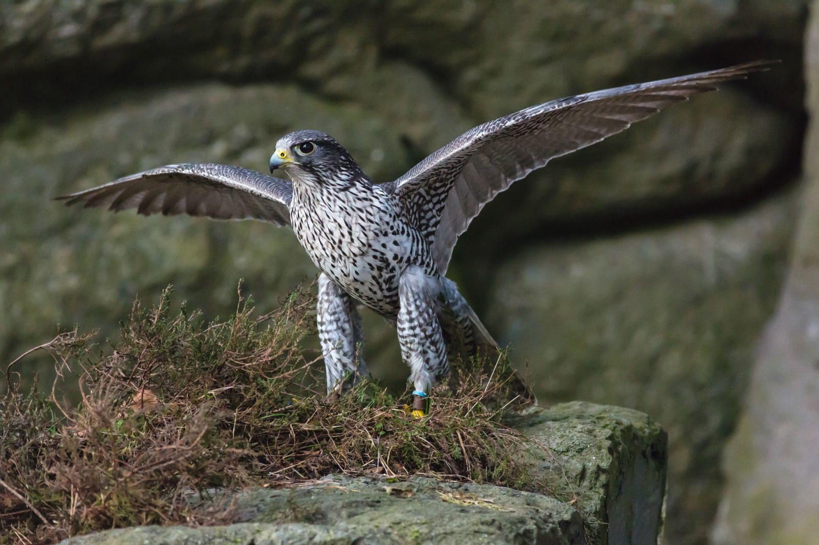 Peragrin Falcon