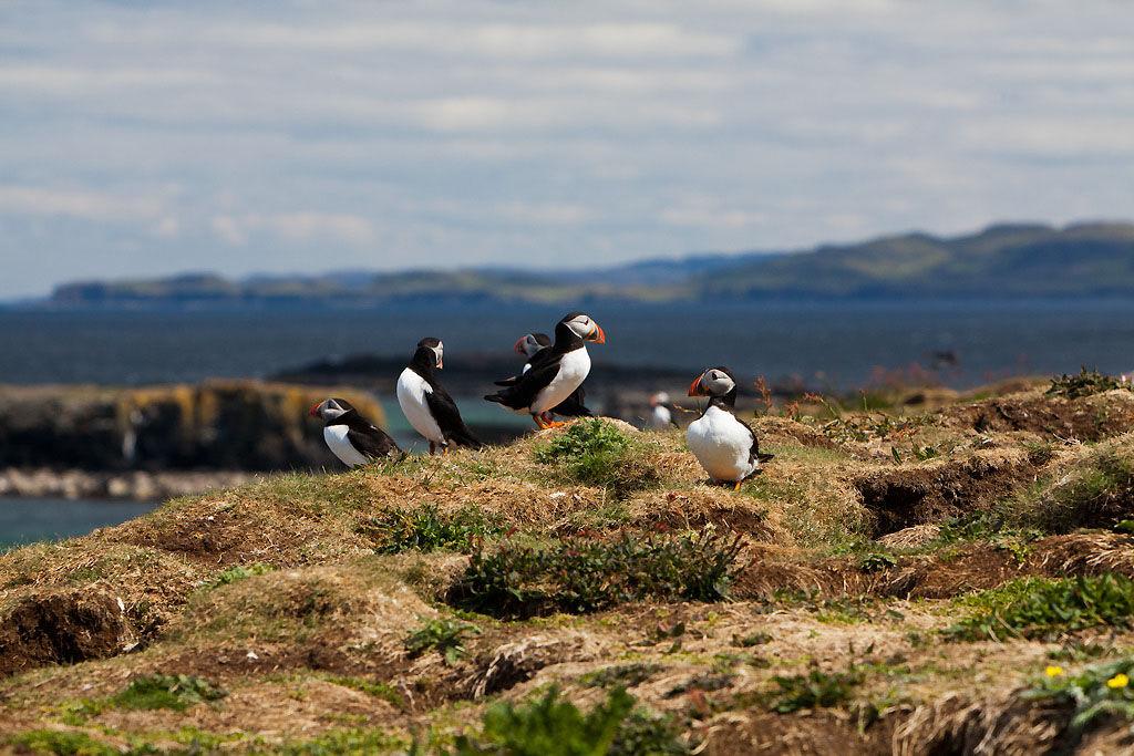 Puffin2 Treshnisn Isles
