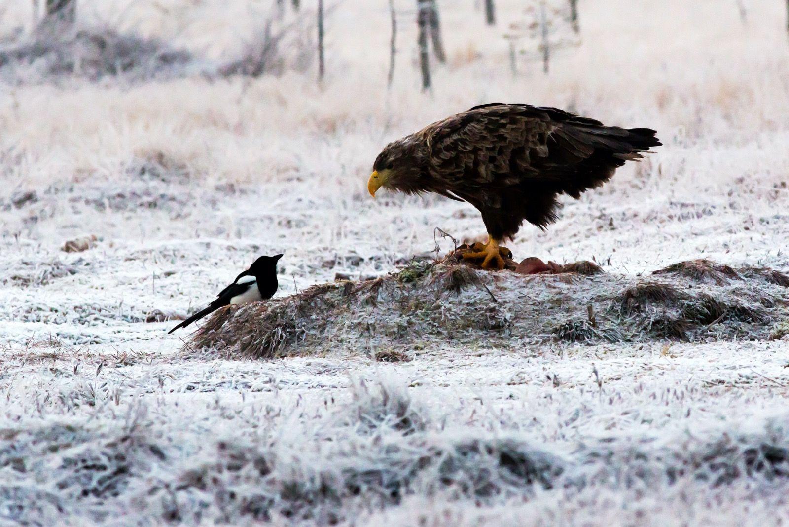 Sea Eagle & Magpie