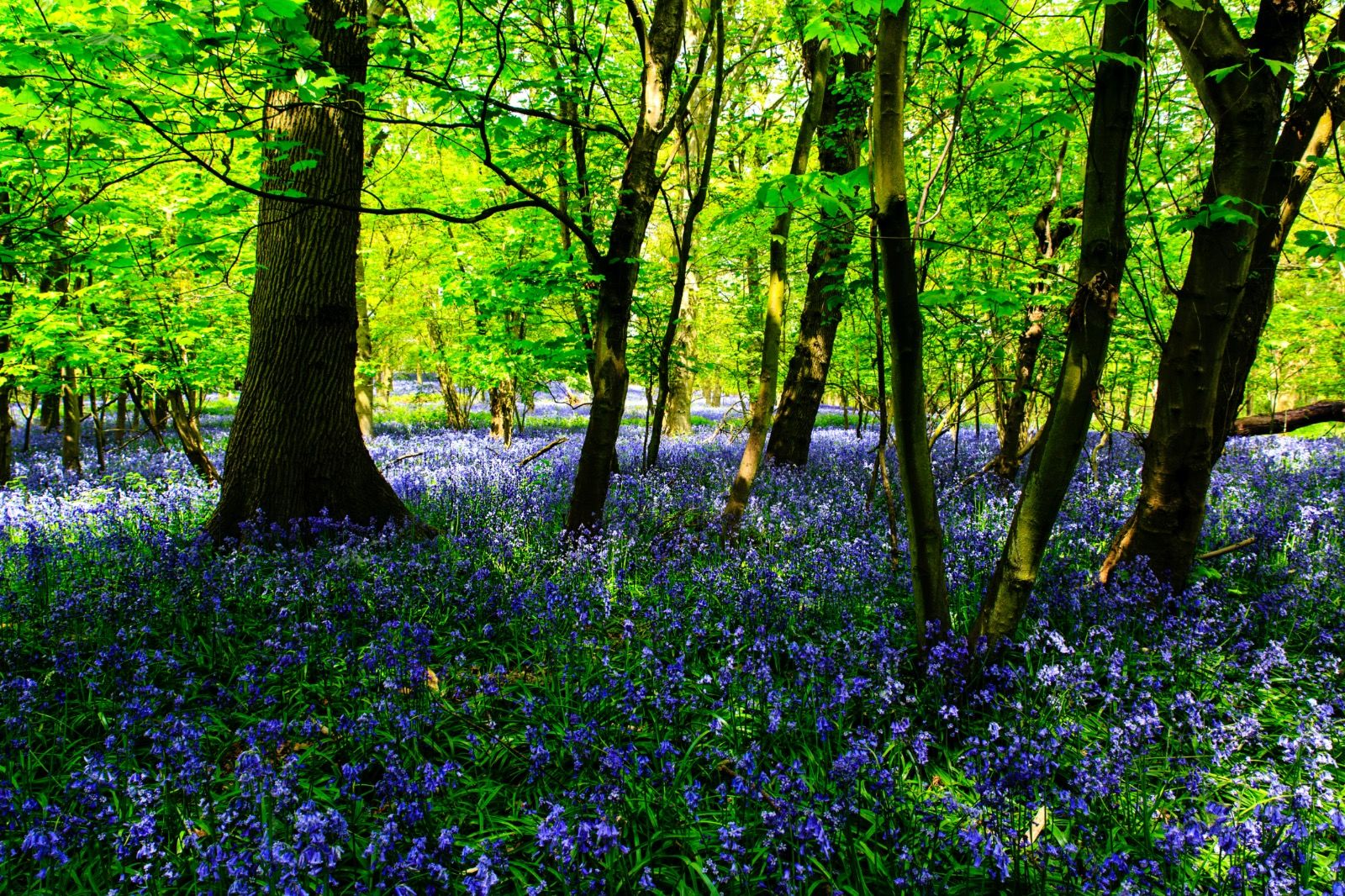 Spring Bluebells Rutland
