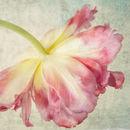 Tulips Study 1