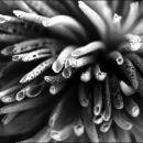 Dahlia Urchin