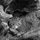 Wild Cat Engraving