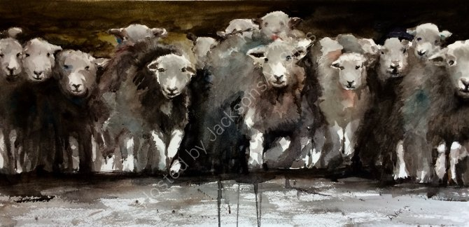 A herd of Herdwicks