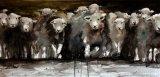 A herd of Herdwicks