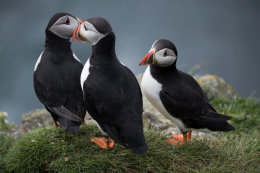 Puffins, Treshnish Isles III