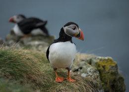 Puffins, Treshnish Isles II