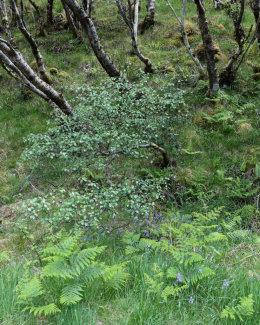 Bluebells & Birch, Loch a' Mhuillin