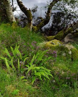Fern & Bell Heather, Loch a' Chreagain Daraich