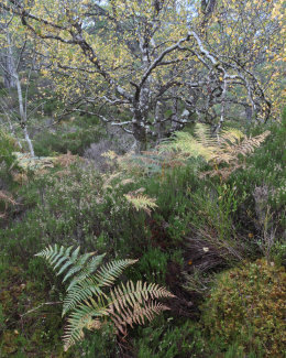 Ferns & Birch Tree, Coille na Glas Leitir