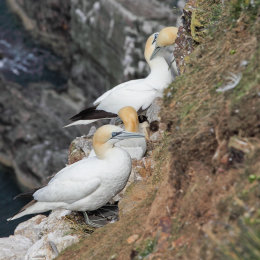 Gannets, Troup Head, Aberdeenshire #1