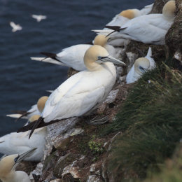 Gannets, Troup Head, Aberdeenshire #2