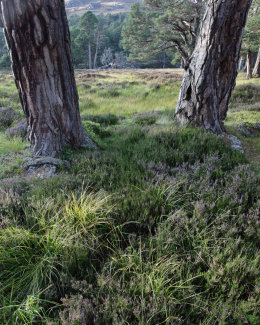 Pine Trees & Grasses, Glen Derry