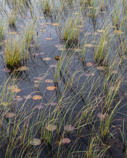Reeds and Lily Pads, Loch Garvie