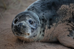 Young Grey Seal, Forvie, Aberdeenshire